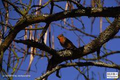 Rotkehlchen im Baum