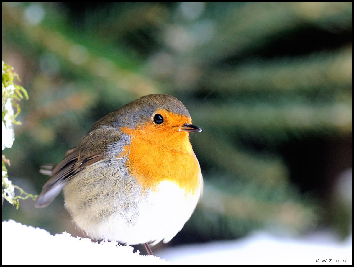 - Rotkehlchen im ersten Schnee -