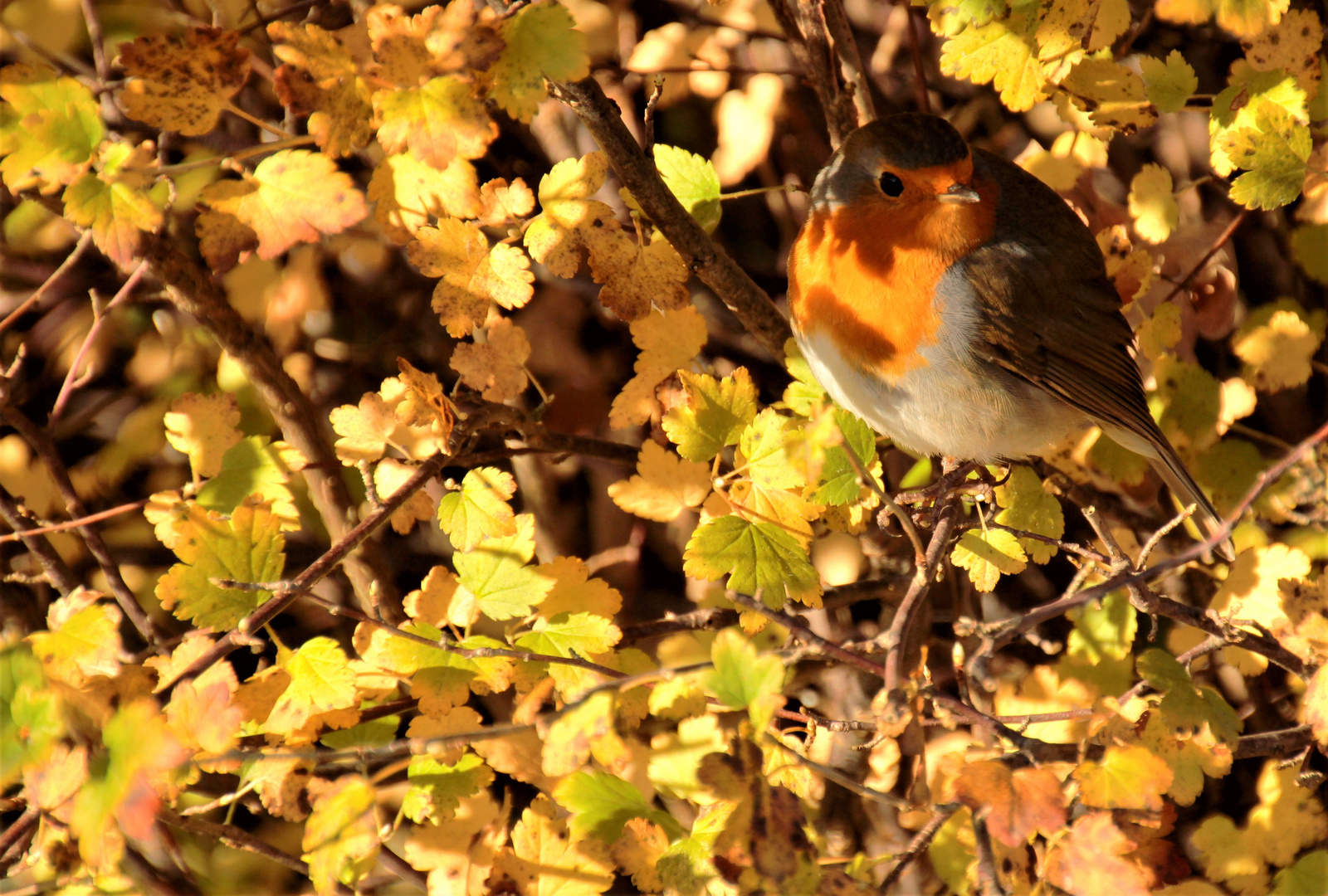 Rotkehlchen im Herbstlaub