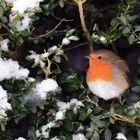 Rotkehlchen in der winterlichen Buchshecke