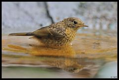- Rotkehlchen jungvogel beim Brustschwimmen -