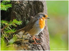 ---- Rotkehlchen Jungvogel ---- ( Erithacus rubecula )