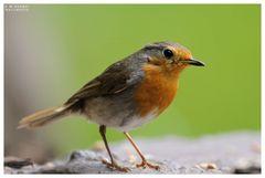 - Rotkehlchen Jv - ( Erithacus rubecula )