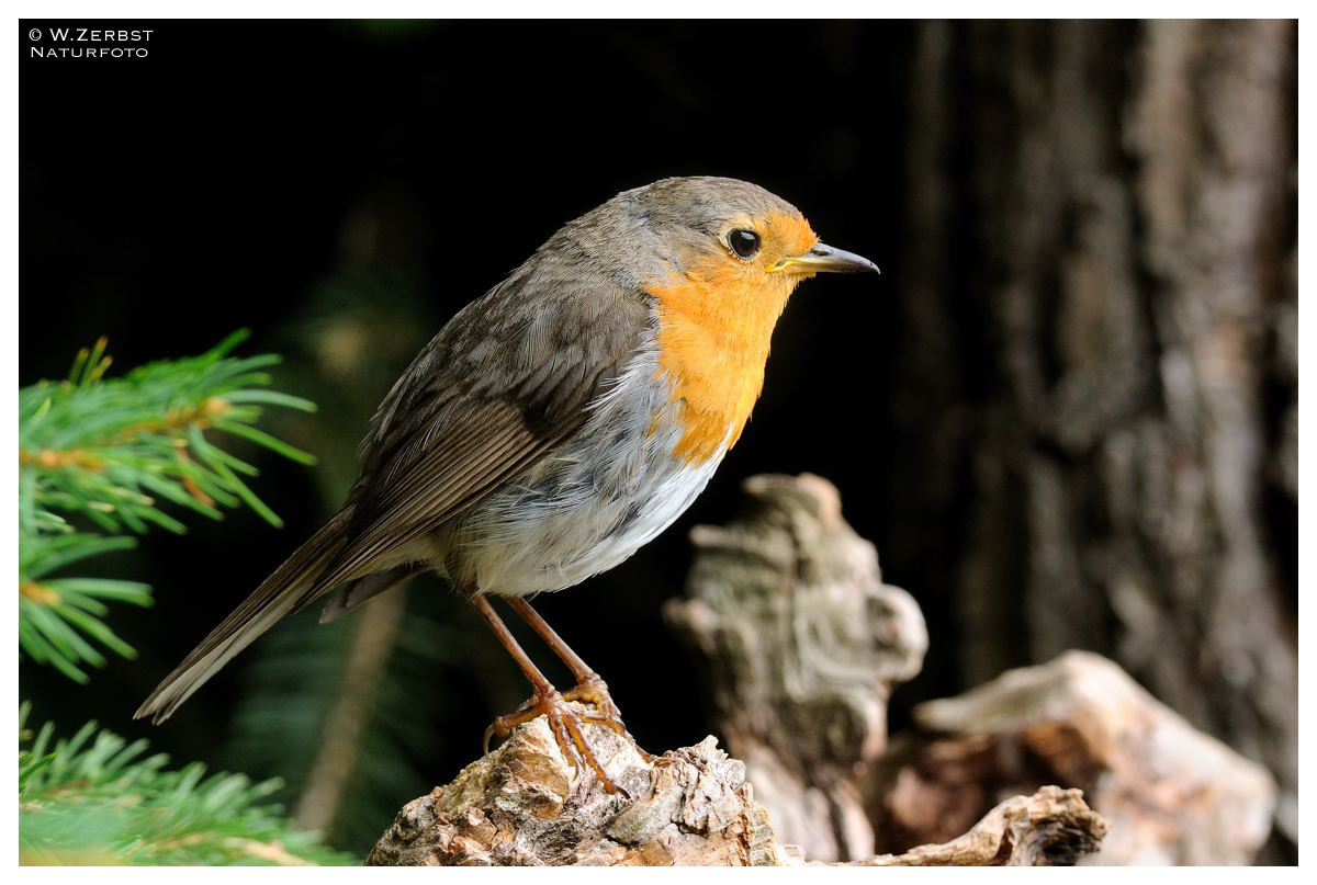 - Rotkehlchen - Mein Lieblingsvogel ( Erithacus rubecula )
