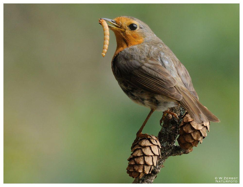 - Rotkehlchen mit Beute - ( Erithacus rubecula )