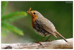 - Rotkehlchen mit einer Zwischenmahlzeit - ( Erithacus rubecula )