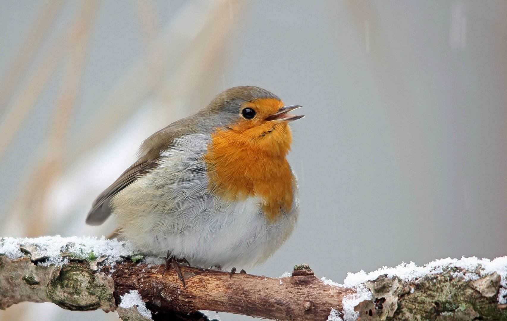 Rotkehlchen singen auch im Winter