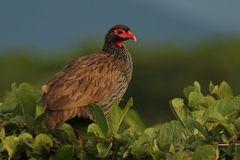 Rotkehlfrankolin (Francolinus afer)