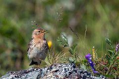 Rotkehlpieper-singend