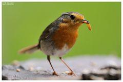 - Rotkelchen Jungvogel 2 - (Erithacus rubecula )