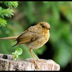 - Rotkelchen Jungvogel -