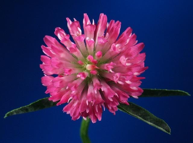 Rotklee_01_Trifolium pratense