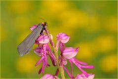Rotkragen-Flechtenbärchen auf Orchideenhybride