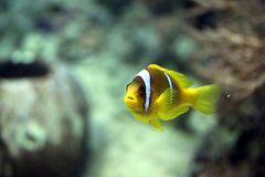 Rotmeer Anemonenfisch