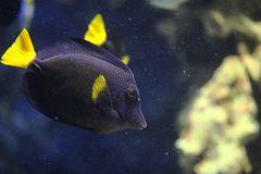 Rotmeer-Doktorfisch
