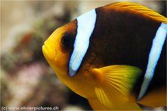 Rotmeeranemonenfisch
