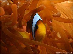 Rotmeeranemonenfisch [reload]