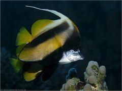 Rotmeerwimpelfisch