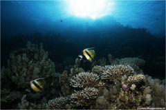 Rotmeerwimpelfische im Gegenlicht