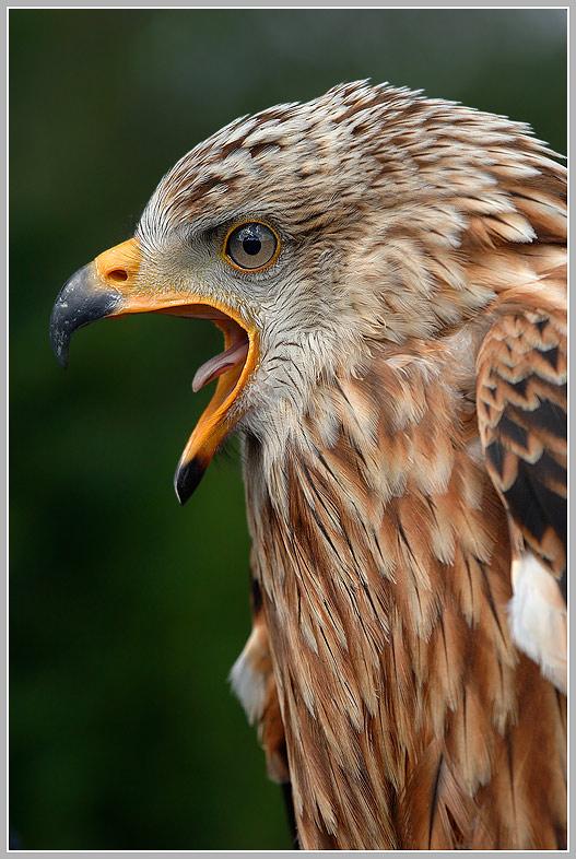 Rotmilan (Milvus milvus)