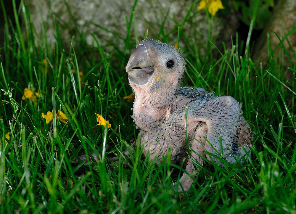 Rotohrara im Gras