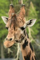 Rotschild Giraffe