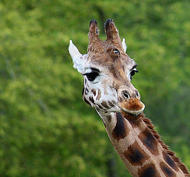 Rotschild-Giraffe