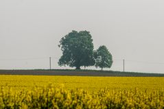 Rottbacher Linde überm Rapsfeld