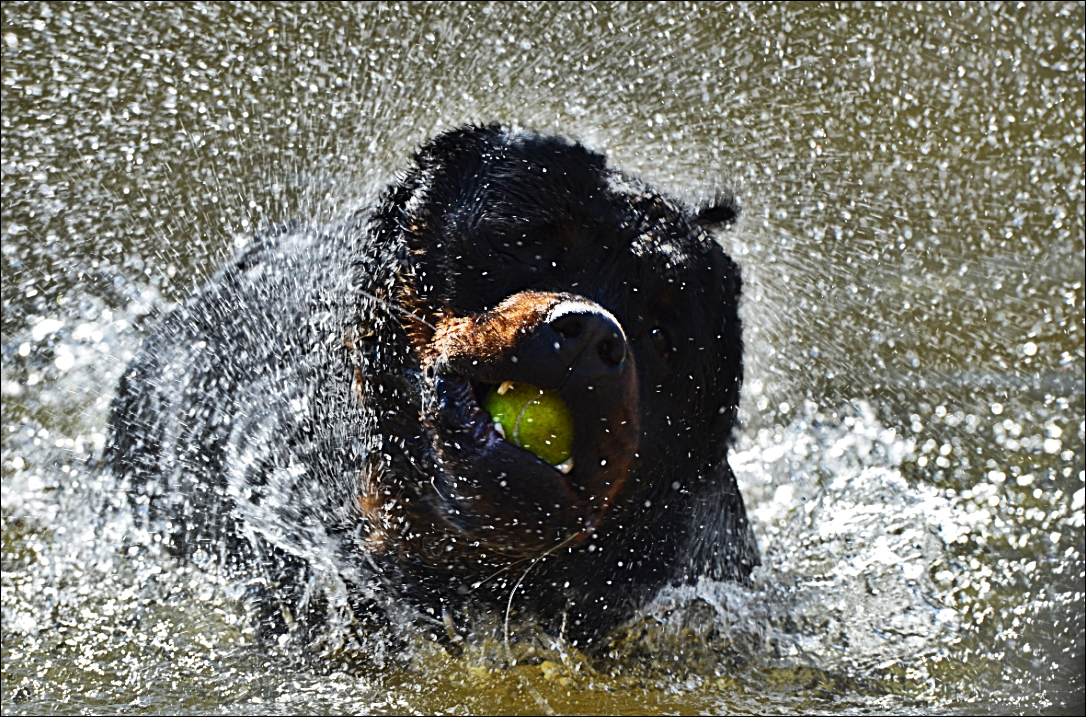 Rottweiler in the river