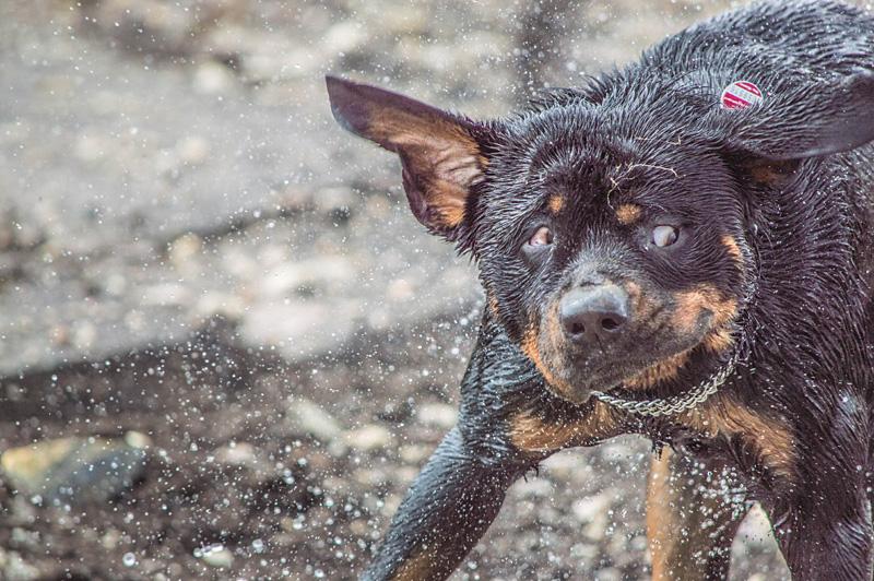 Rottweiler shakes 2!