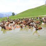 Rotwild beim Baden in Kitzbühl