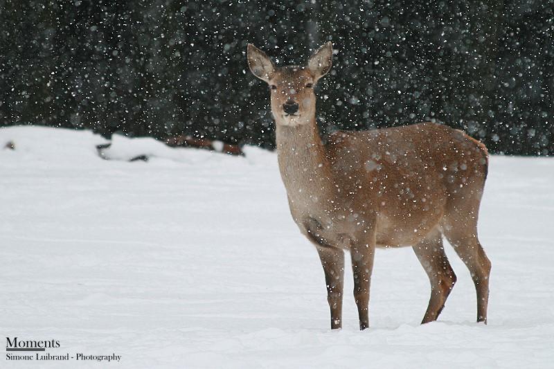 Rotwild im Schnee