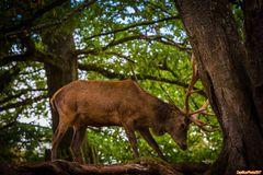 Rotwildhirsch beim Kräftemessen im Wildpark Silz