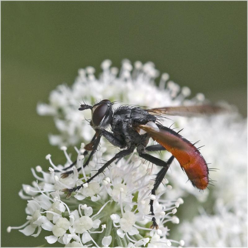 Rouge de plaisir (Mouche Cylindromyia)