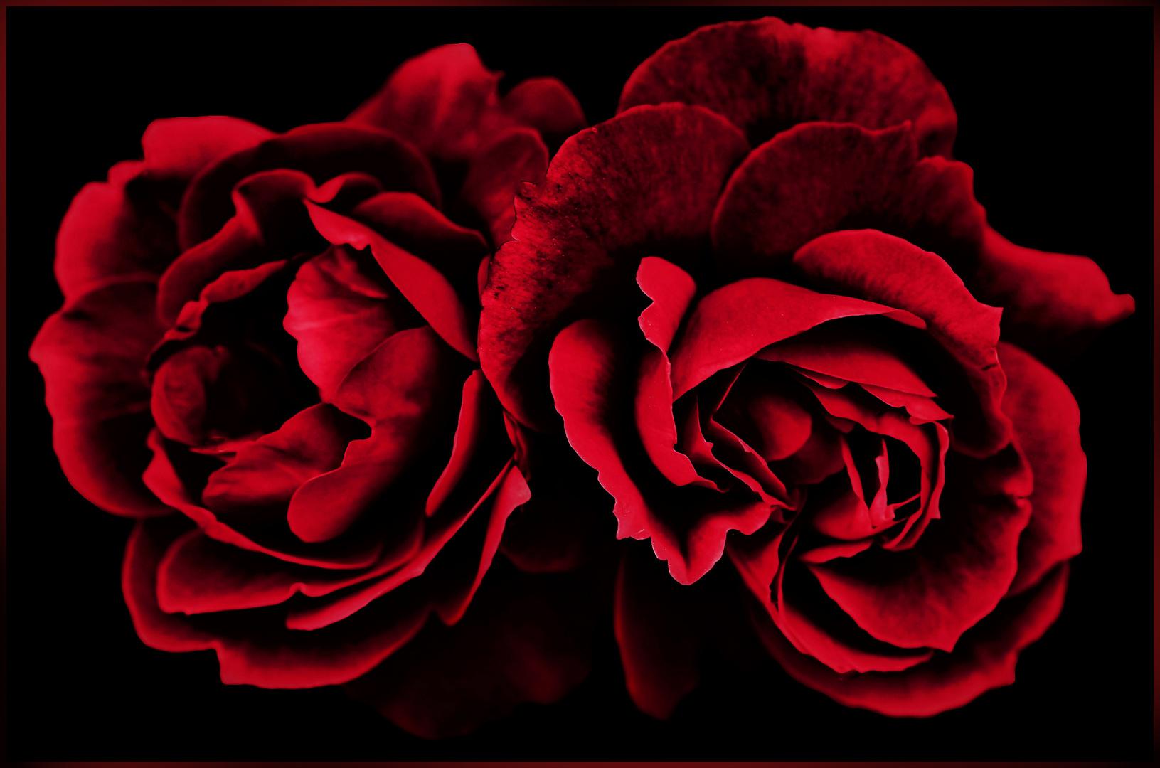 rouge sang et rouge  baiser de deux roses...