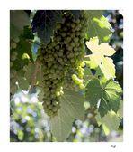 round the vineyard