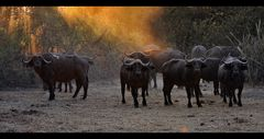 Ruaha Buffalos...