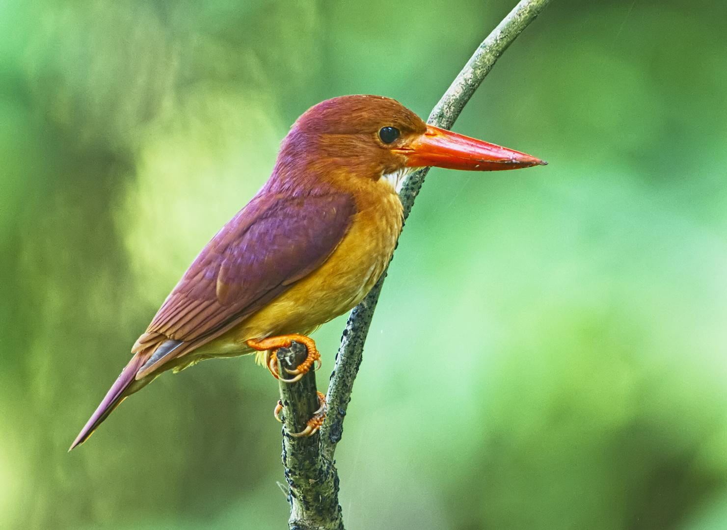 Ruddy Kingfisher (Singapore)