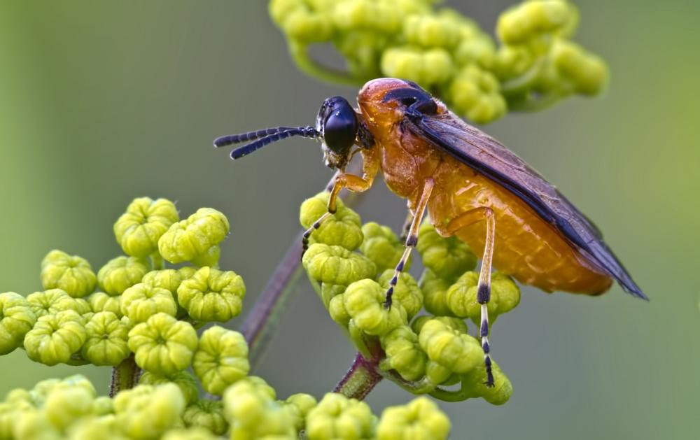Rübsenblattwespe