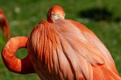 Rückansicht des Flamingos