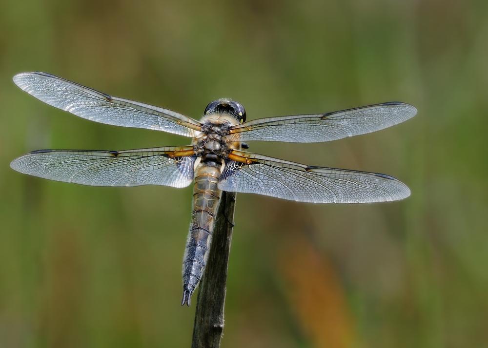 Rückenansicht einer Libelle