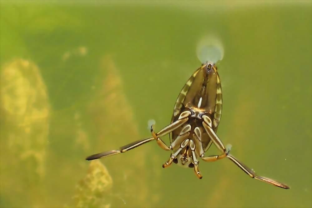 Rückenschwimmer (Notonecta glauca)