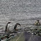 Rückkehr der Pinguine von der Futtersuche