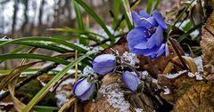 Rückkehr des Winters - leider auch für die Leberblümchen im Wald!