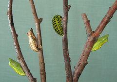 Rüebli-Puppenbaum