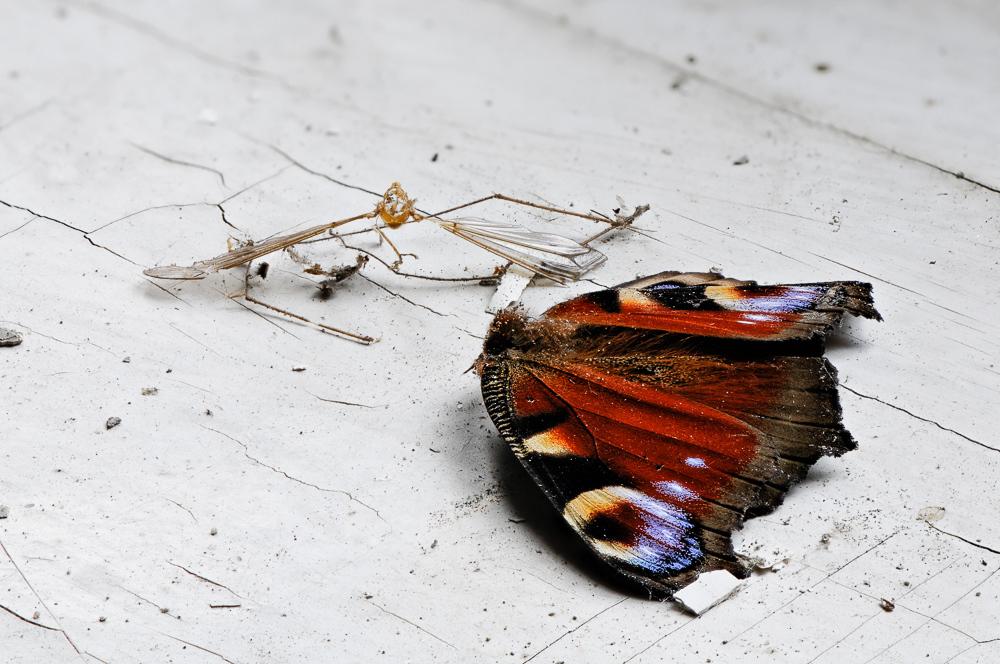 Rülpls- Reste einer Spinnenmahlzeit