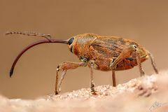 Rüsselkäfer (Adern-Eichelbohrer)