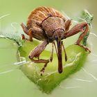 Rüsselkäfer beim Auftanken