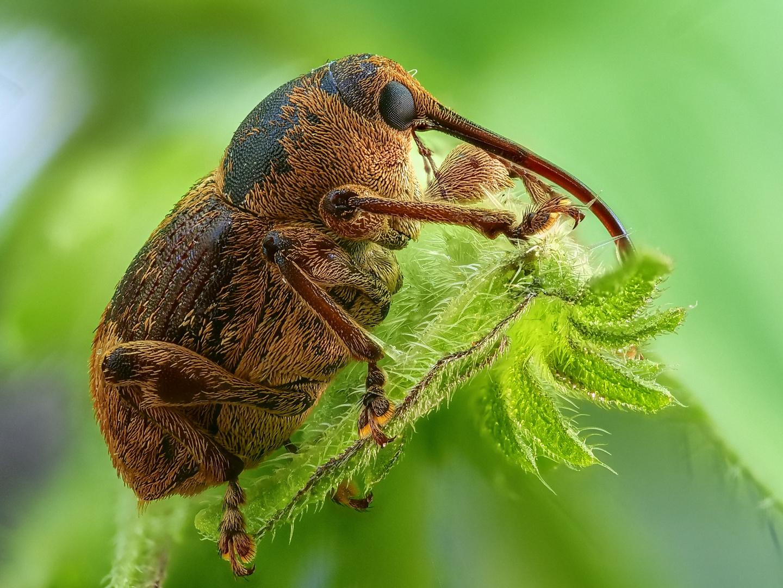 Rüsselkäfer, ca. 6 mm klein