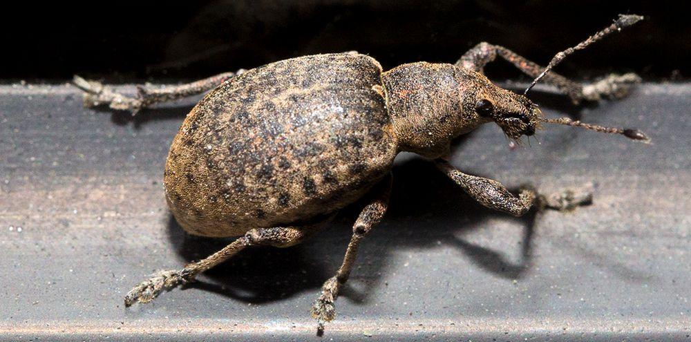 Rüsselkäfer (I)